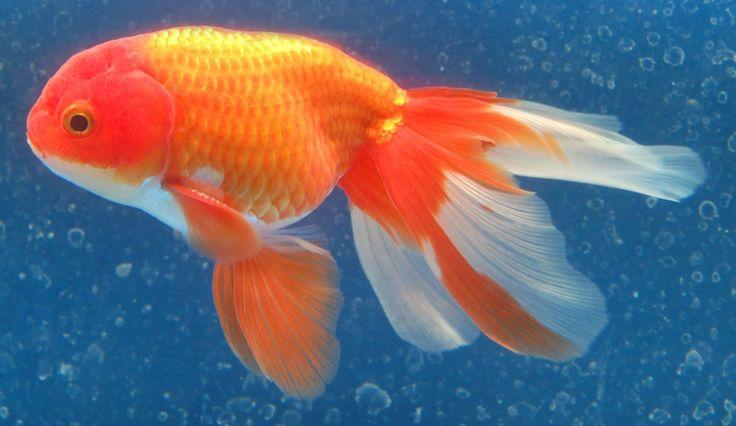 571 best goldfish for the pond images on pinterest for Comet pond fish