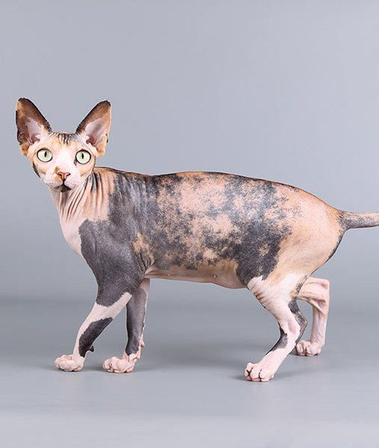 SPHYNX Many cat-allergy sufferers report good luck with the famously hairless Sphynx breed.