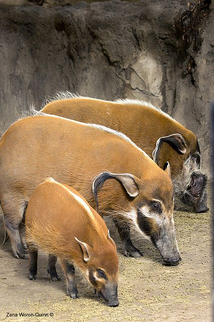 The Three Little Pigs .. This photo was taken at the Calgary Zoo. These are Red River Hogs