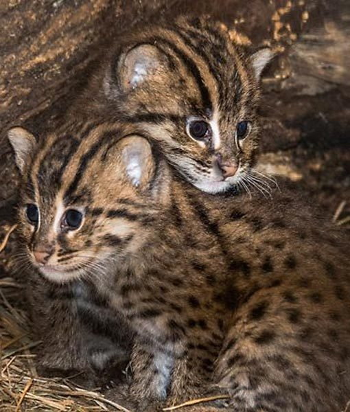 Asian fishing cat cuties animals pinterest for Fish videos for cats