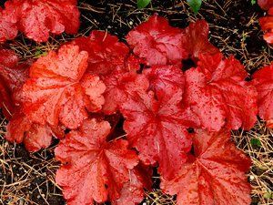 Heuchera Fire Alarm has high voltage red foliage that stays colorful and attract…