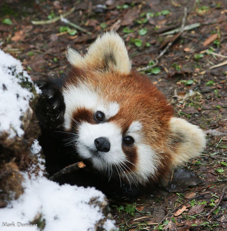Малая панда анимация