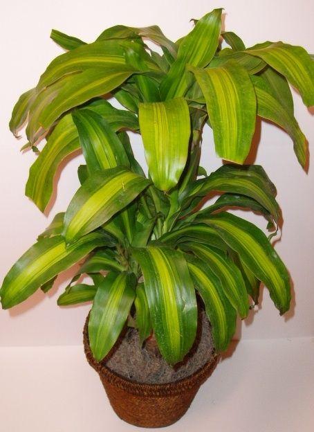 11 best corn plant images on pinterest indoor house plants indoor plants and indoor gardening. Black Bedroom Furniture Sets. Home Design Ideas