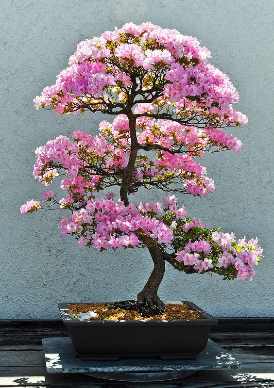 Flowering bonsai. Might this be some kind of an Azalea or related?