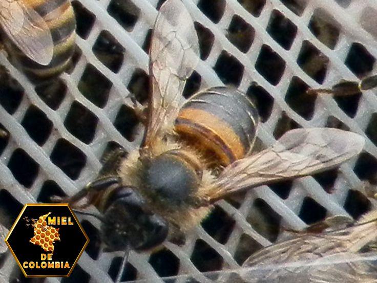 Algunas de las razones por las que las colonias de abejas africanizadas enjambran con mayor frecuencia que las europeas es que construyen nidos de menor tamaño y el néctar y polen que recolectan son recursos que destinan, en mayor medida, a la producción de más abejas en vez de almacenarlos.