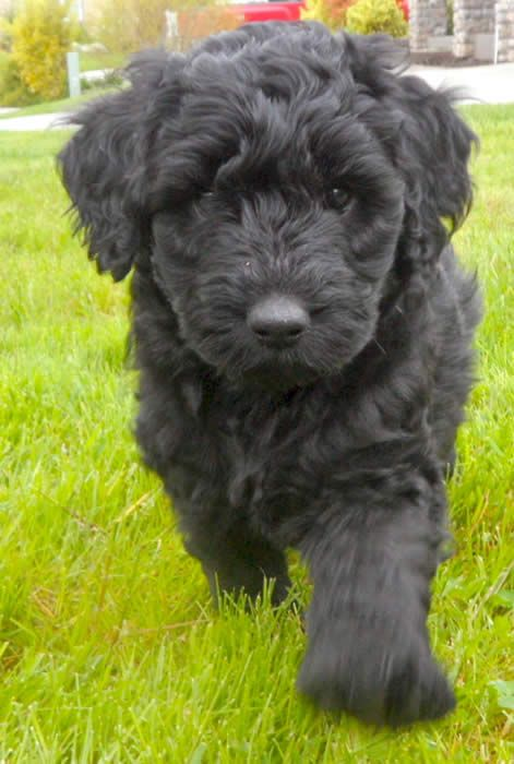 Black labradoodle  This looks just like my Wrigley.