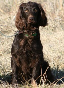 Boykin Spaniel - Brandywine Creek Boykin Spaniels - Our Boys