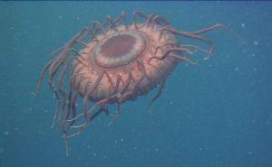Atolla wyvillei , een kwal uit de diepzee, die als hij wordt aangevallen een indrukwekkende lichtshow geeft.
