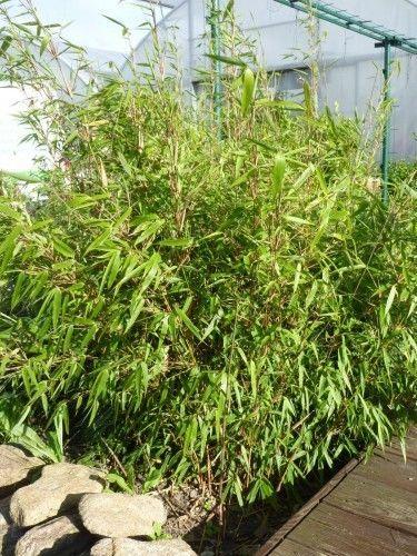 Fargesia-Rufa-ca-40-cm-Bambus