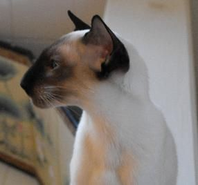 Tyjunsee Siamese & Colorpoint Shorthair Links