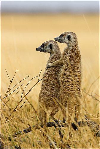 Meerkats in Makgadikgadi Pan National Park, Botswana, Africa