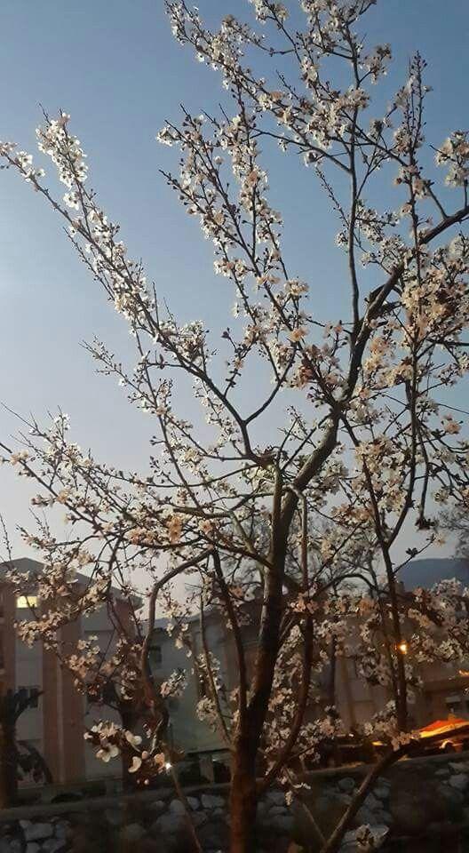 Altınolukta ağaçlar çiçek açtı