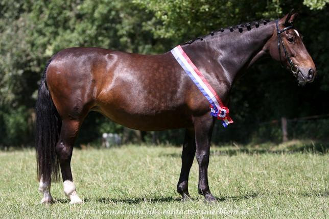 friesian horses animals netherlands - photo #17