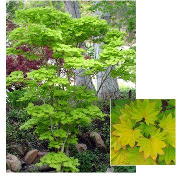 Acer shirasawanum 'Aureum' (Aureum Maple) -  Pendleton Design Management www.pendletondm.com