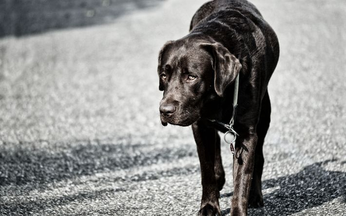 Scarica sfondi 4k, labrador nero, di cani, di malinconia, simpatici animali, retriever
