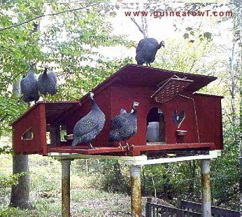 Poultry Housing for Guinea Fowl