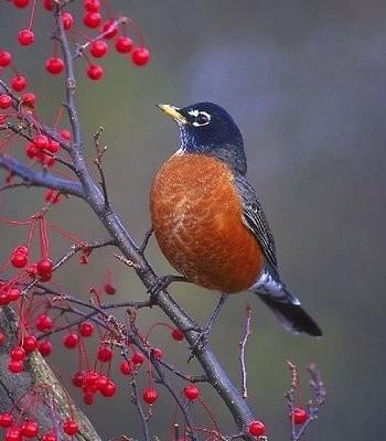 Red Robin ~ State Bird