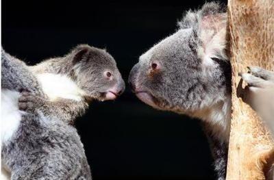 Staring contest with dad. #koala: Baby Koalas, Creatures, Australian Koalas, Dads, Australian Marsupialnot, Cudd Koalas, Koalas Bears, Stare Contest, Animal