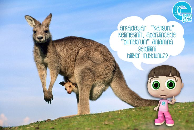 """Arkadaşlar biliyor muydunuz? """"Kanguru"""" kelimesi, Aborijincede """"bilmiyorum"""" demekmiş. Avustralya'yı keşfeden denizciler, karaya çıktıklarında ilk defa bir kanguru görüp ve yerlilere adını sormuşlar. Onlar da bilmedikleri için """"kanguru"""" yani """"bilmiyorum"""" demişler. Böylelikle bu ilginç hayvanların adları kanguru olarak kalmış, komik değil mi grin ifade simgesi  #EnerjiÇocuk #enerji #kanguru"""