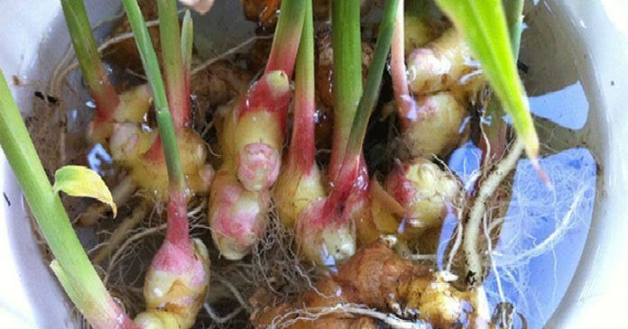 how_to_grow_ginger_at_home_featured