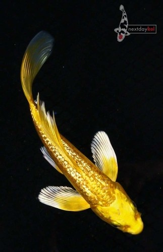 Gin rin yamabuki ogon butterfly freshwater pinterest for Butterfly koi fish aquarium