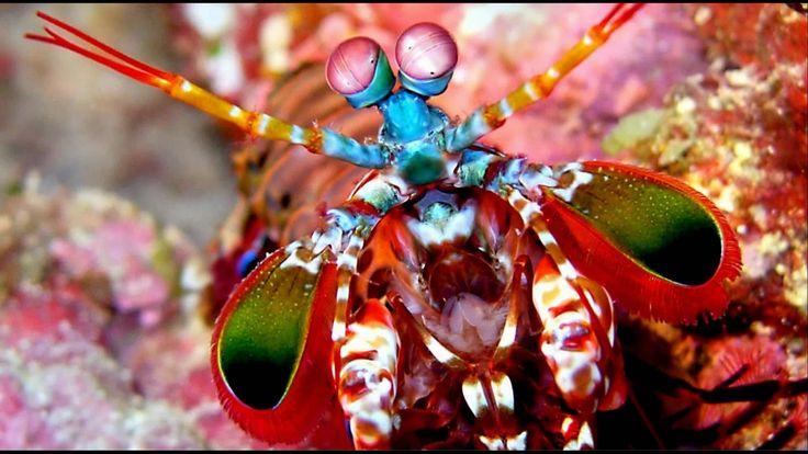 Big Mantis Shrimp in a Marine Refugium