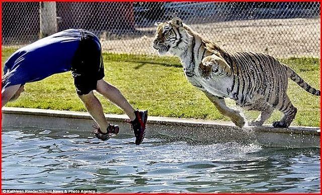 Een tijger heeft plezier in het zwembad.