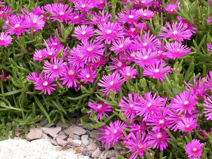 Delosperma cooperi. Ice plant right of flag pole behind Arkansas blue star