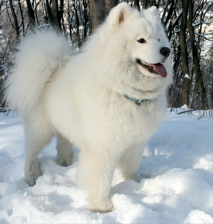 Cool Samoyed Chubby Adorable Dog - ffe4ce296e062c73ee9b46fb63e9277f--samoyed-puppies-fluffy-puppies  Picture_271345  .jpg