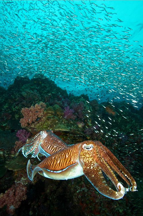 Pharaoh cuttlefish (Sepia pharaonis) at Richelieu Rock, Surin Islands, Thailand. The two males were fighting each other while the female was laying eggs. by Steve De Neef