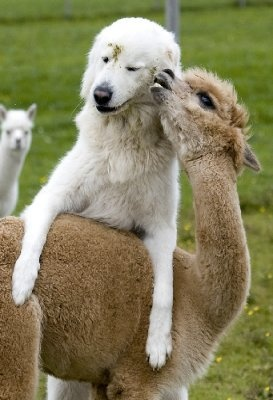 Alpacas being loved on by it looks like a Great Pyrennese. Probably the guard dog.