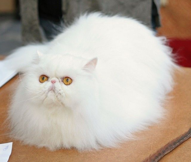 white persian cat Exactly like my Cyrus