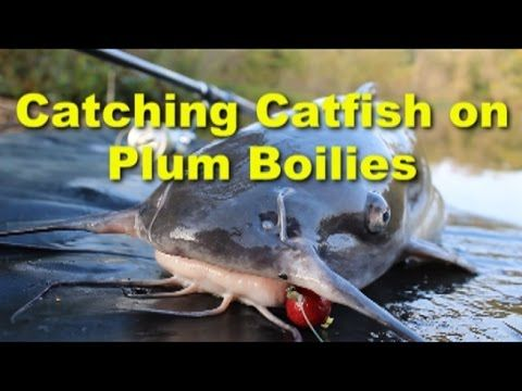 Carptec Plum Boilies from Dynamite Baits are awesome channel catfish bait. Plum boilies are great, If you want a channel catfish bait that will drive the catfish crazy without stinking up everything you own.