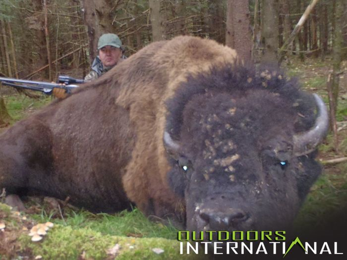 Bison Hunting Outfitters, Tips, Videos and Information
