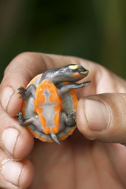 Be gentle with that pretty baby turtle. Love his colors. Nature as artist.