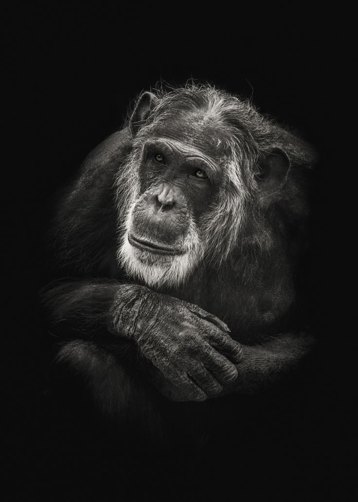 Grey old man - A monochrome version of a portrait of Mike the gray old beautiful chimpanzee in Dierenpark Amersfoort.