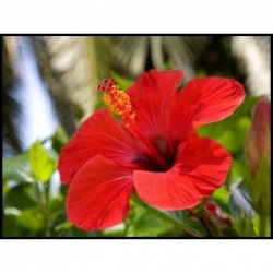 Hibiscus Tea is an herbal tea that comes from infusing dried hibiscus flower petals. This form of tea is primarily made from the Hibiscus sabdariffa...