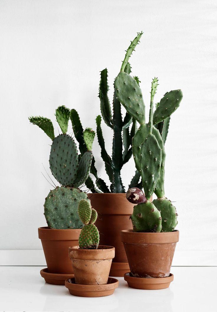 kaktuksia