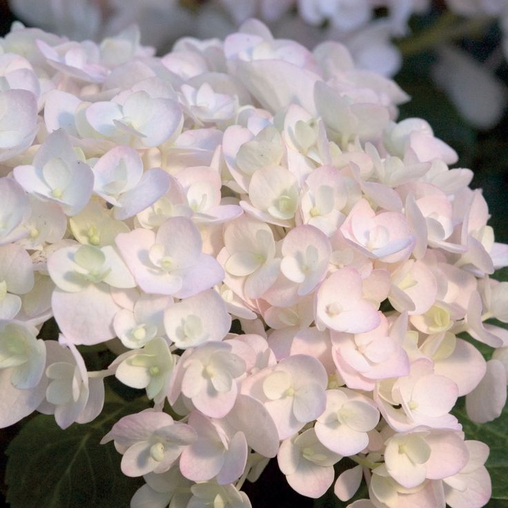 Hydrangea macrophylla 'Endless Summer - Blushing Bride'.  It sounds brutal but the best thing to do with newly acquired hydrangea plants that are already in flower is to prune back by a few inches, cutting off the flowers.  This encourages the plant to push out new buds, within 3 to 4 weeks, doubling the size of your new plant.