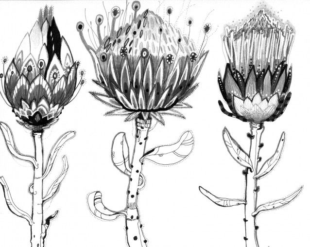 protea black and white - Google Search