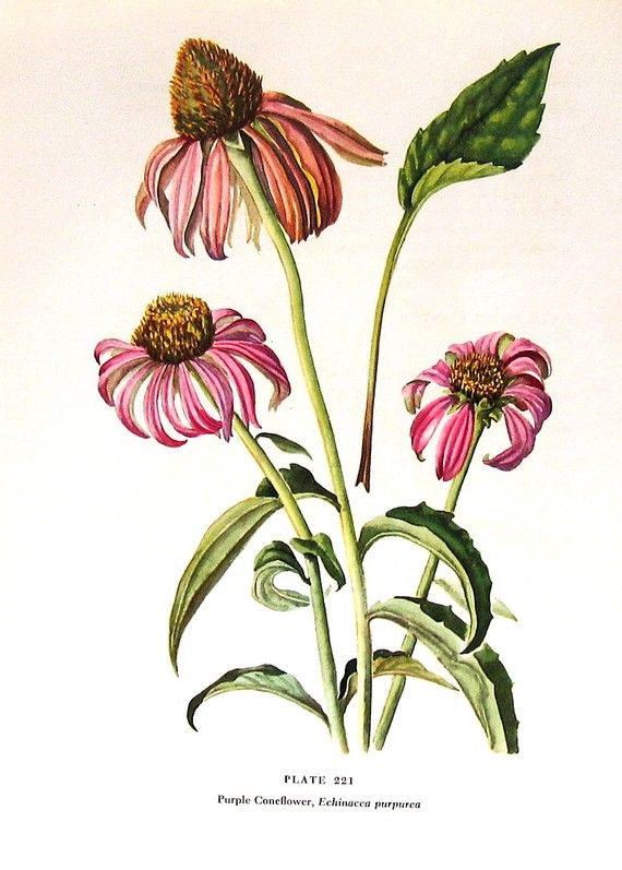 Line Drawing Coneflower : Best images about gathered flora illustrations on