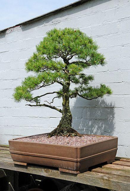 Pine Bonsai Tre...