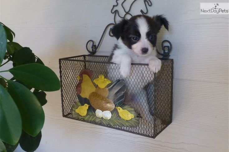 Meet Sadie a cute Papillon puppy for sale for $700. AKC Papillon femal puppy-Sadie