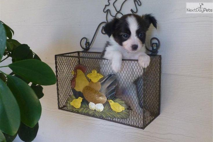 Meet Sadie a cute Papillon puppy for sale for $700. AKC Papillon femal puppy-Sadie