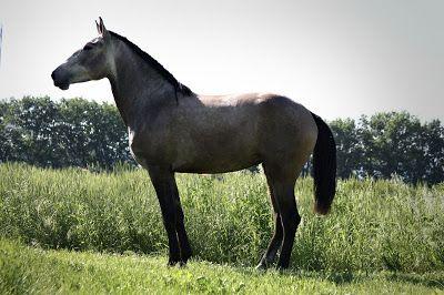 Desideria - beautiful  lusitano horse