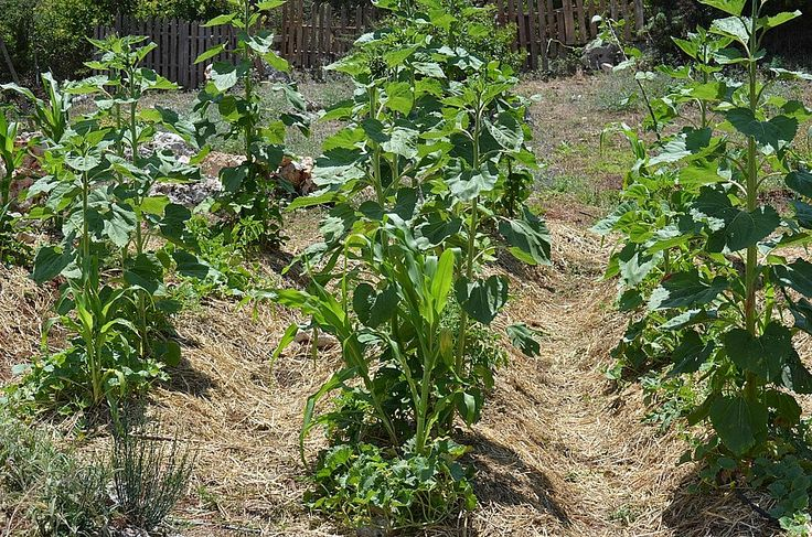 Straw cover is very effective against weeds.