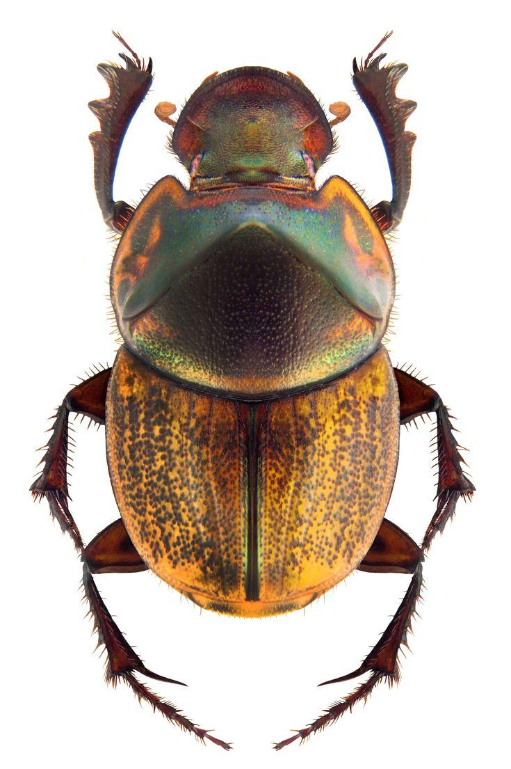 Onthophagus verticicornis.  (Scarabaeidae: Dung Beetles)