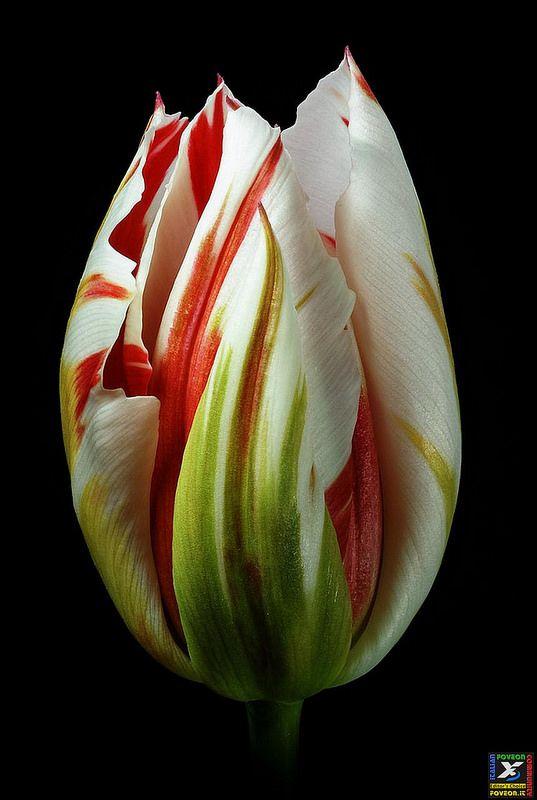 "#37 IFC Editor's Choice 22-11-2014 ""Flaming Tulip"" (Ph. Antony Scott) https://www.flickr.com/photos/ascott/ Sigma SD1 http://forum.foveon.it"