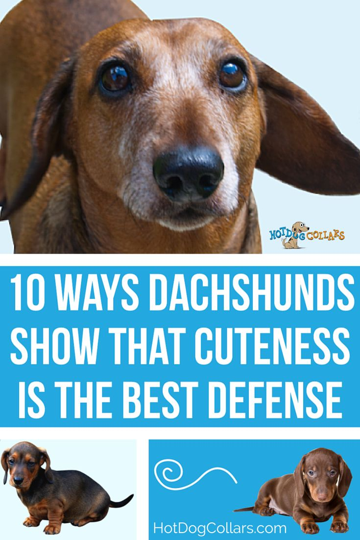 2304 best doxies images on pinterest | animals, weenie dogs and