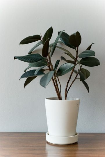 Rubber Plant Plants And Ficus On Pinterest